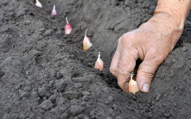 Що садять під зиму на городі
