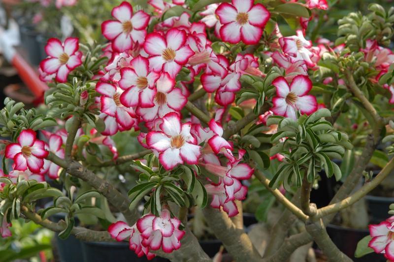 Яркие цветы адениума