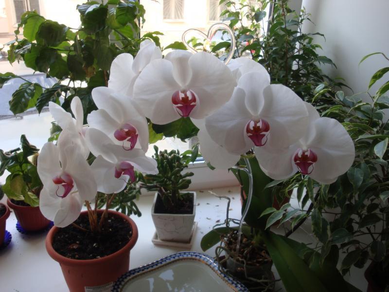 Как заставить цвести орхидеи фаленопсис в домашних