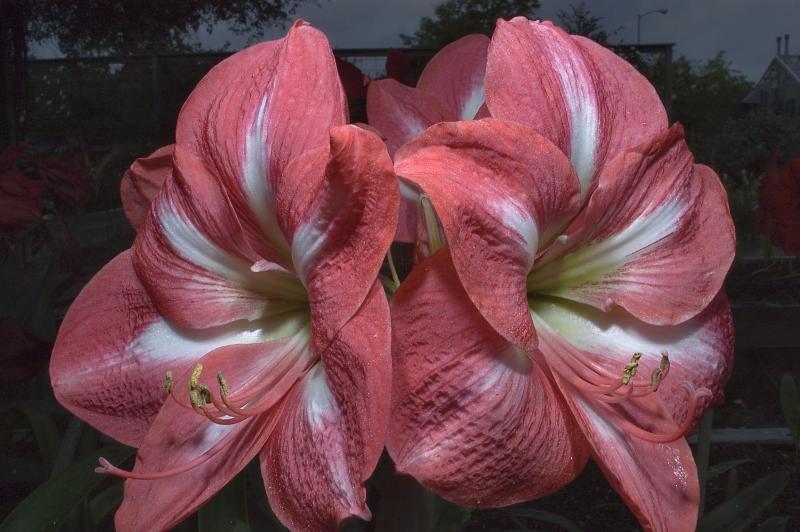 Растение гиппеаструм