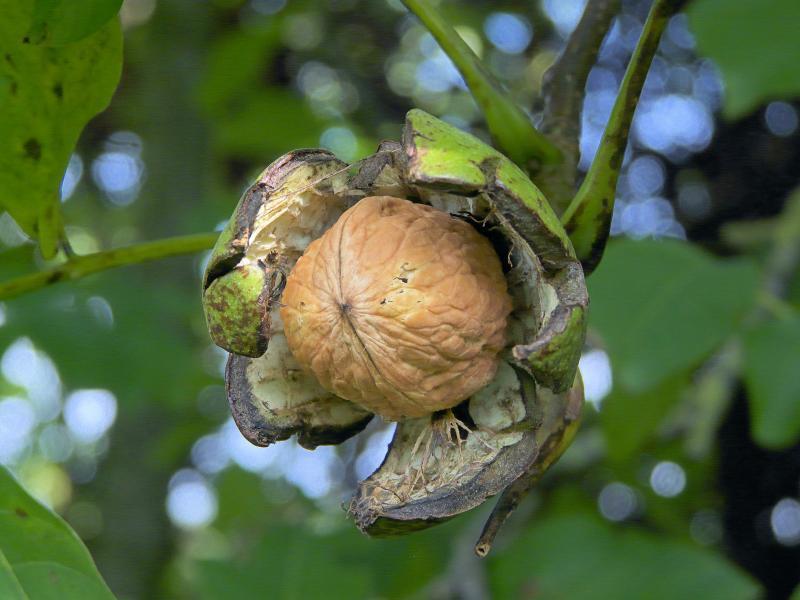 Посадка грецкого ореха осенью