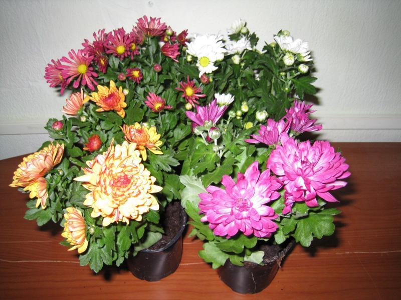 Хризантема в домашних условиях
