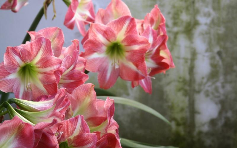 Амариллис уход в домашних условиях после цветения