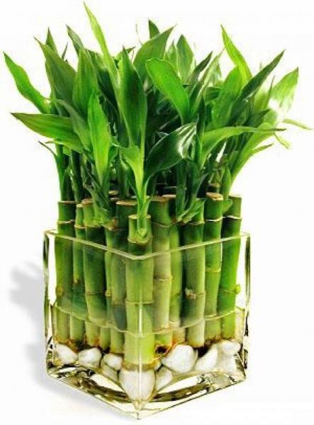 Комнатный бамбук как ухаживать
