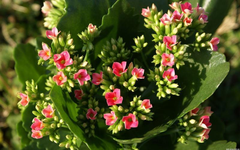 Цветок каланхоэ уход в домашних условиях фото