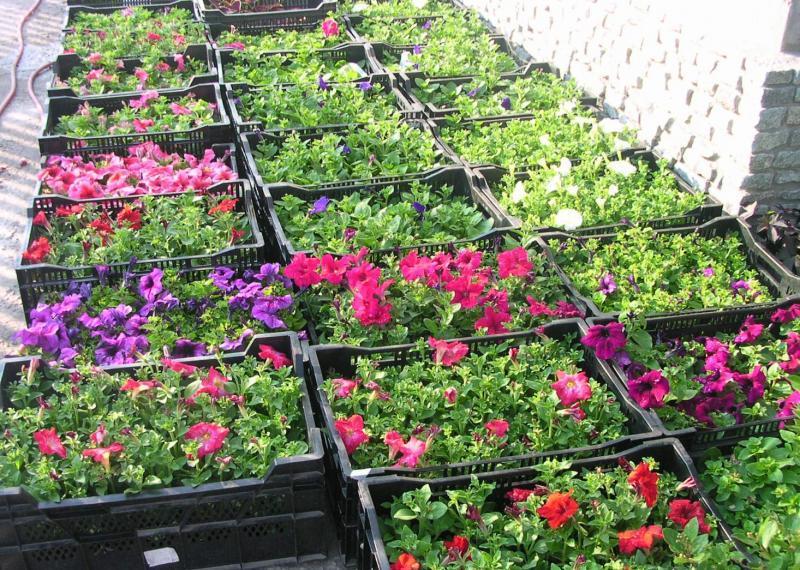 Посев рассады с цветами 16