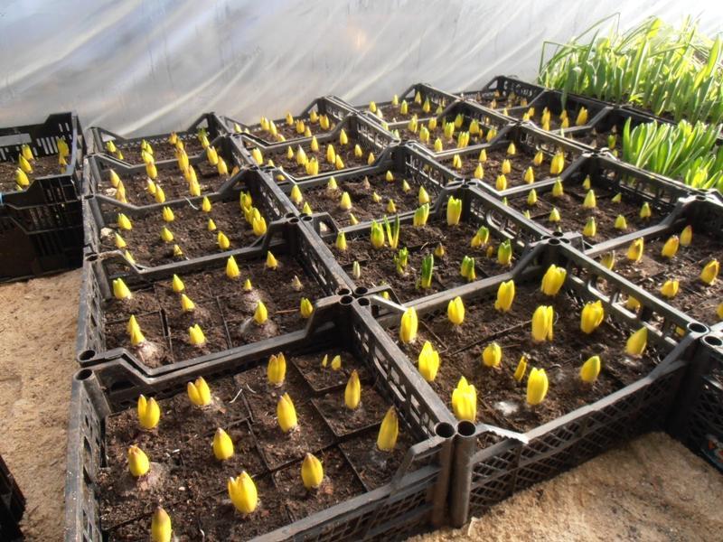 Выращивание тюльпанов 80