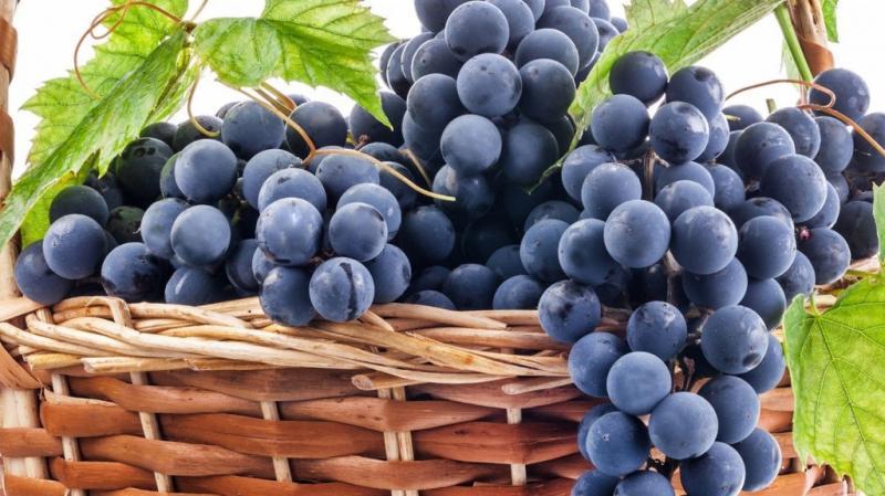 Виноград выращивание и уход