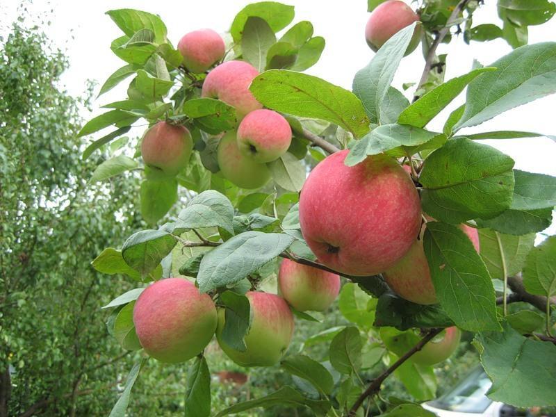 Яблоня из семечка в домашних условиях