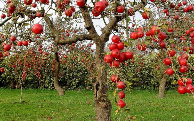 Выращивание низкорослых яблонь 56