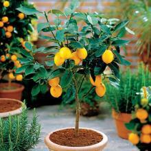 Лимон выращенный в домашних условиях