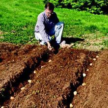 посадка картошки рядами