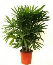 Пальма хамедореи