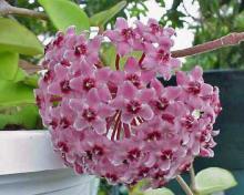 Восковой цветок