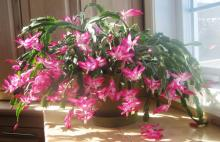 Розовая шлюмбергера
