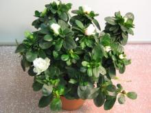 Тенелюбивое растение