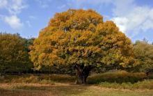 дерево дуба