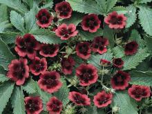цветы лапчатки кустарниковой