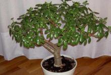 как посадить денежное дерево