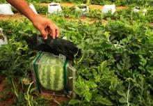 как вырастить арбуз