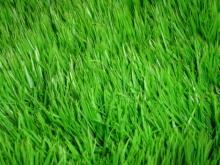 когда сажать газонную траву