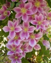 клематис в цвету